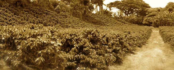 coffee-plantation1