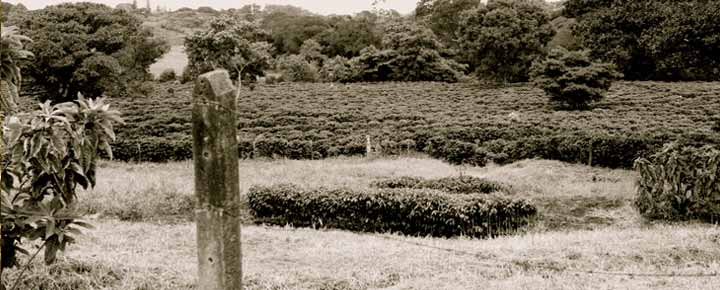 coffee-plantation2