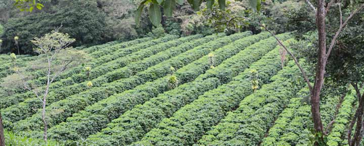 coffee-plantation3
