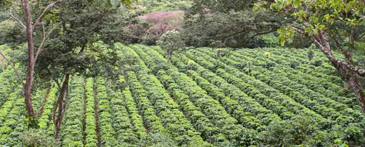 coffee-plantation4